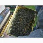 Пропонуємо Вам купити бджолопакети з племінних пасік карпатської породи від виробника
