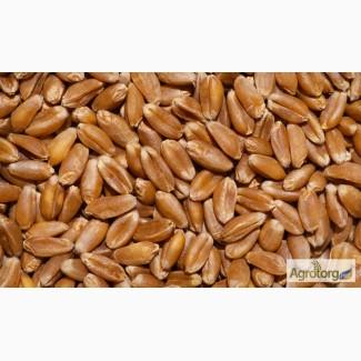 Куплю пшеницю ІІІ класу