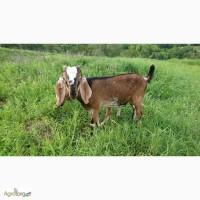Англо-нубийский козел чистокровный