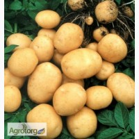 Картофель сорт Гранада среднепоздний 1 репродукция 3кг.сетка