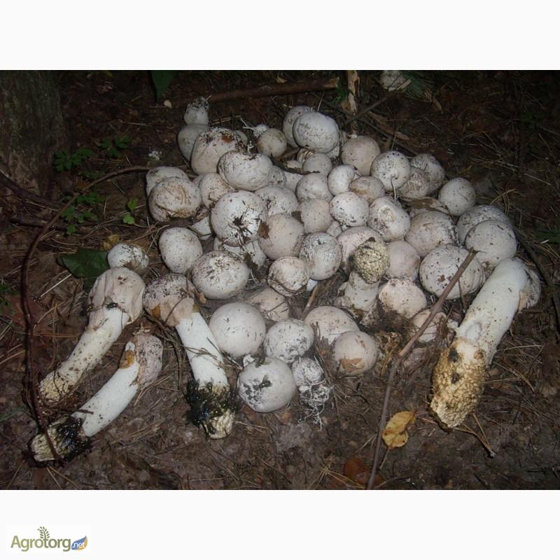 фото веселки грибы