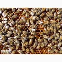 Продам пасеку, пчелосемьи, семьи пчёл, пчелопакеты