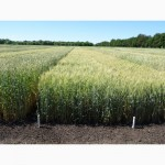 Пшеница озимая Бунчук