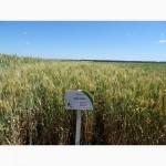 Семена озимой пшеницы Коханка (элита)
