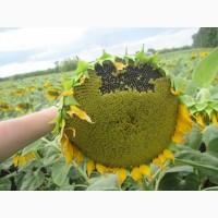 Семена подсолнечника Бенето