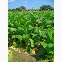 Табак Вирджиния для самокруток и набивки гильз