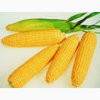 Семена кукурузы Новый, Здобуток, Моника (Маис)