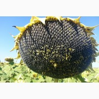 Осман гібрид соняшнику толерантний до євро-лайтнінгу