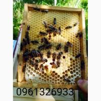 Приймаю замовлення на бджолині матки карпатської породи