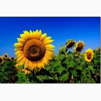 Насіння соняшника Тамара, під євролайтинг, 114-118 днів