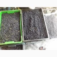 Продам свіжу чорницю від 1, 5 тонн