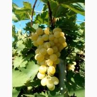 Продам виноград плевен с поля