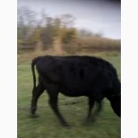 Корови телиці закупка по гарній ціні цілодобово