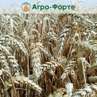 Озима Пшениця ФАУНУС (Еліта)