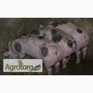 Продам свиноматку порода петрен