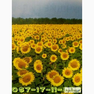 Семена Посевной подсолнечник под евролайтинг Аракар семена подсолнуха 2016 Элита