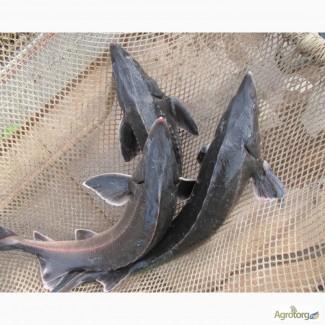 Живая рыба -осетр, стерлядь, бестер