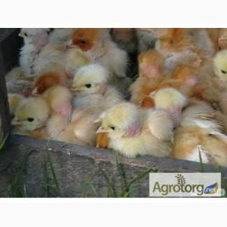 Продам вакциноване курча іспанки голошиї, не голошиї