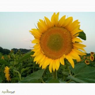 Посевной подсолнечник под евролайтинг Аракар семена подсолнуха 2016