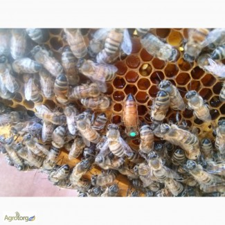 Пчелопакеты, пчелосемьи, пчеломатки