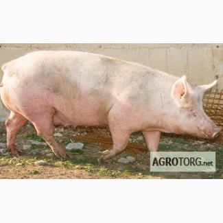 Продам свиней мясных пород