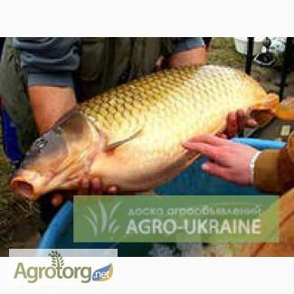 Продаем карпа оптом Рыба живая - АгроСервер ру