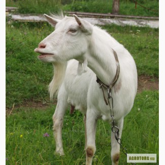 Продаются козы породы Белая немецкая