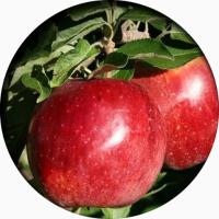 Саженцы плодовых деревьев с питомника