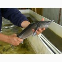 Живая рыба - осётр, стерлядь, бестер 0, 5 - 10 кг