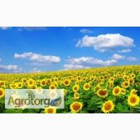 Продам семена подсолнечника Аркансель