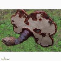 Продам гриби рейші