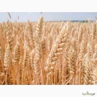 Озимая пшеница балатон, мидас, галлио, роланд