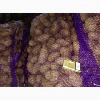 Картофель оптом из КФХ Беларуси