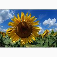 Насіння гібриду соняшника Дозор