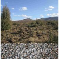 Можжевельник Juníperus ягоды 2017 года горный Карпат