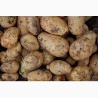 Картофель, сорт лаперла в продаже оптом