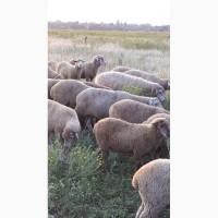 Срочно продам стадо овец Меренос-Асканийский 230 голов, Николаев
