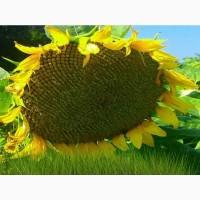 Насіння соняшнику Олівер/посухостійкий/безкоштовна доставка
