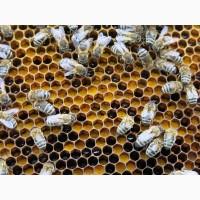 Перга цветочная, пчелиная, (пчелиный хлеб)