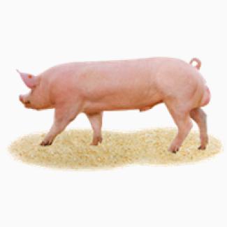 Племінні свині