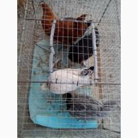 Продам курчата підрощені породи ДОМІНАНТ 3 місяці
