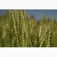 Семенной элитный оз.сорт мягкой пшеницы GATINO