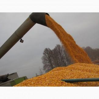 Купуємо великі об'єми вологої кукурудзи (не кондиції)
