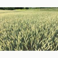 Пшениця Комбін