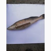 Свіжа річкова риба. Карась, густера, синець, плотва, лящ і ін