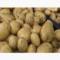 Закуповуємо картоплю