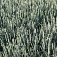 Насіння пшениці Фабіус РН-1/Еліта
