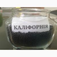 Семена озимого рапса сорта: Калифорния, Дангал, Черемош, Чемпион Украины