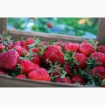 Продам клубнику урожая 2018 года