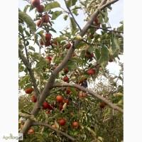 Продам яблука і саджанці